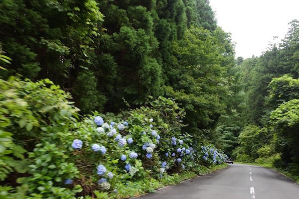 8月下旬に紫陽花が咲き誇る紫陽花ロード