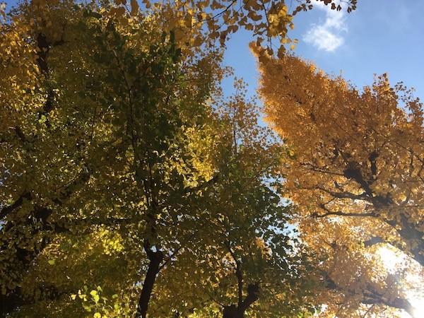空の青さも、黄色いいちょうの葉も、白く光る日差しも、どれも美しい