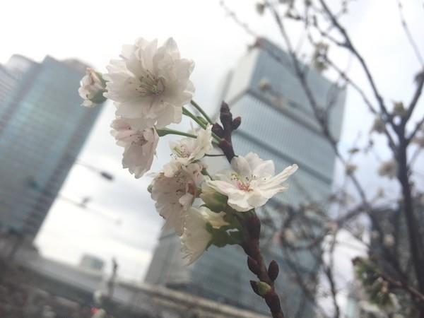 赤坂で見かけた咲いている花、桜ですよね