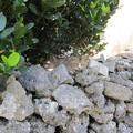 Photos: 石垣に猫。