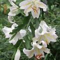 山に咲くヤマユリ 2