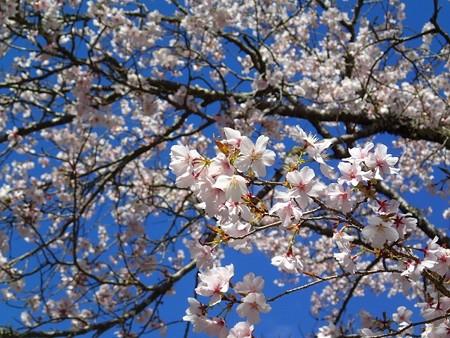 26 3 ゆかし潟 桜 1