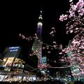 河津桜と東京スカイツリー♪2
