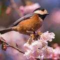 Photos: 寒桜とヤマガラさん♪