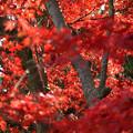 Photos: 紅だー!