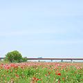 <荒川左岸*ポピー畑にかける橋>