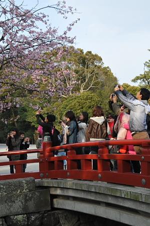 鶴岡八幡宮の桜 01