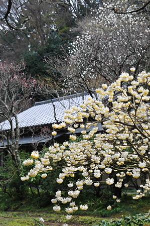 東慶寺 ミツマタ
