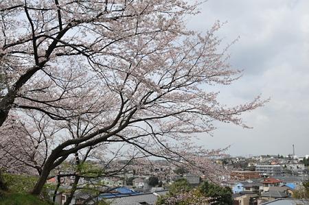桜 2010 秋葉台公園 01