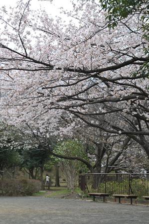 桜 2010 秋葉台公園 02