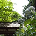 写真: 明月院の紫陽花 01