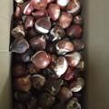 写真: チューリップの球根100個キタ