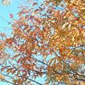 2016.11.16 欅の紅葉up