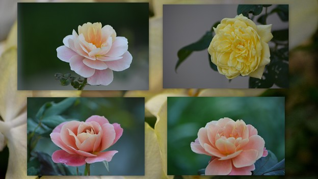 Photos: 綺麗な薔薇