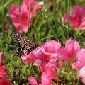 Photos: ツツジとアゲハ蝶