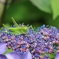 額紫陽花にバッタ