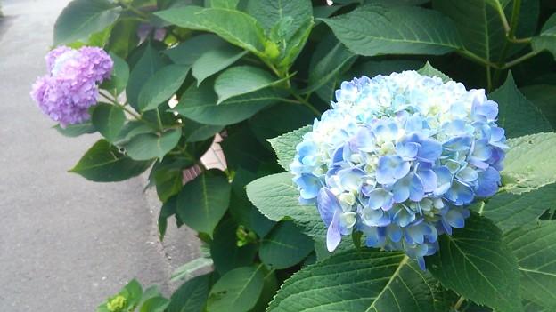 こんな時期に紫陽花が咲き始めました♪
