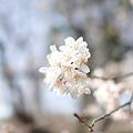 Photos: 淡い桜