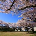 写真: 390 戸の内公園の桜