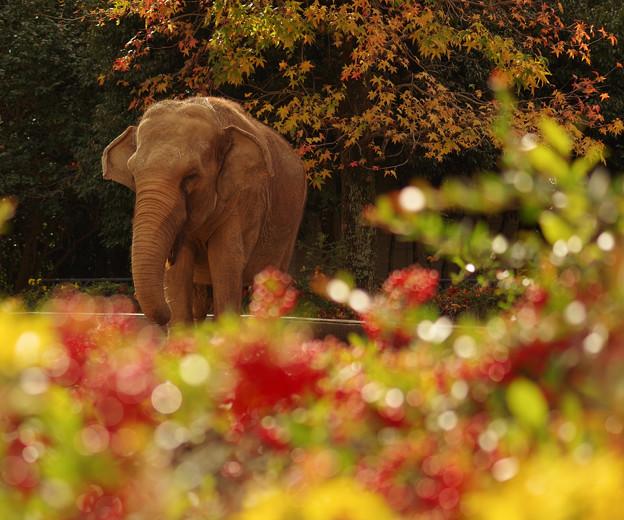 日本の秋、動物園のゾウ