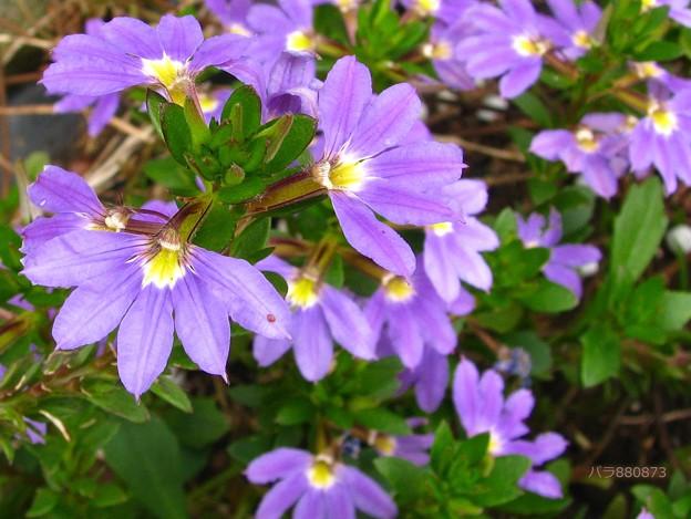 スカエボラの花