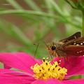写真: (2)紅色のコスモスの花にイチモンジセセリ