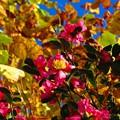 垣に咲く山茶花♪