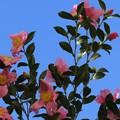 冬の青空に咲く山茶花♪