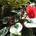 ミニシクラメンの花