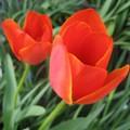 Photos: チューリップの花