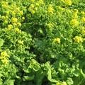空き地に群生する菜の花