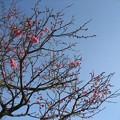 Photos: 青空と紅梅!