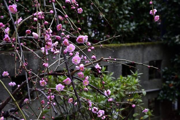 写真: 170209上野公園 (18)