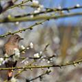 写真: 梅の香りはいかが?