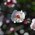 写真: 梅のはな