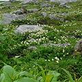 チングルマのお花畑2