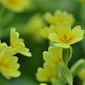 写真: 愛らしく群れて咲く