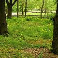 自然観察園のクサノオウ