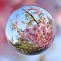 桜玉 -祈り-