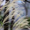 Photos: 枯尾花