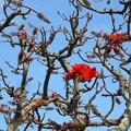 うりずんの空に映える梯梧(でいご)の花