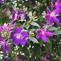 紫紺野牡丹