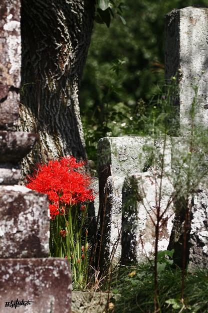 Photos: 赤い華
