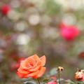 写真: Ring-a-Ring-o' Roses