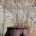 Photos: 鉢植