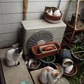 写真: ミケママ、茶ブチ、黒ブチ0321