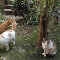 写真: ミニチグ、茶ブチ、ミケママ0320